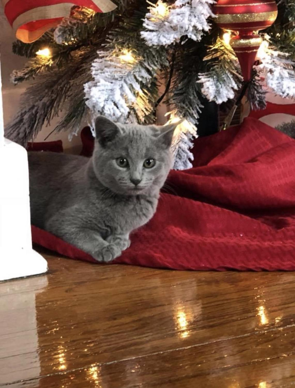 My cat, Rudy, enjoys waiting for Christmas.
