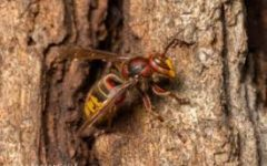 Report of a 'Murder Wasp' in Washington State now pose a threat to the country.